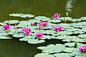 Water lily 'Newton' in pond