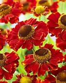 Rote Sonnenbraut (Helenium)