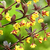 Japanese barberry with flowers (Berberis thunbergii 'Red Chief')
