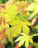 Japanese maple (Acer palmatum 'Orange Dream')