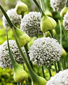 Ornamental onion 'White Cloud' (close-up)