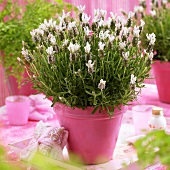 French lavender in pink flowerpot