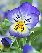 Pansy 'Blue Seal' (close-up)