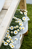 Marguerites in fabric bags on wooden shelves in garden