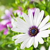 Cape daisy (close-up)