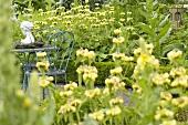 Jerusalem sage (Phlomis russeliana) in garden