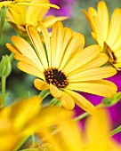 Yellow Cape daisies (close-up)