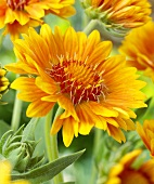 Blanket flowers (close-up)