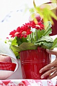 Watering gerbera in pot