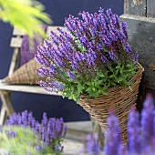 Salvia nemorosa 'Sky Blue' in straw basket
