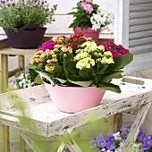 Kalanchoe blossfeldiana 'mixed' on folding table