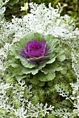 Ornamental cabbage in garden