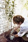 Woman planting espalier tree
