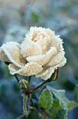 weiße Rose mit Eiskristallen