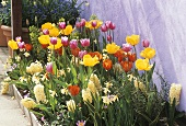 Tulips, narcissi and white hyacinths in flower-bed