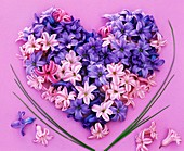 Fragrant blue and pink hyacinth flowers forming a heart