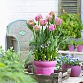 Tulip 'Air'