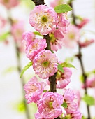 Flowering almond blossom (Prunus triloba)