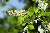 Blütenstand des Faulbaumes (Frangula alnus)