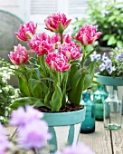 Tulips, variety: Crispion Sweet