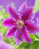 Clematis, variety: Dr. Ruppel