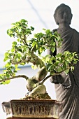 Bonsai Ligustrum and Buddha statue