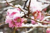 Ornamental quince (Chaenomeles 'Pink Lady')