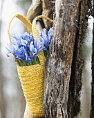 Iris reticulata, variety: Alida, in a bag