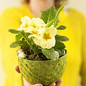 Hand holding potted primrose with quails' eggs