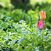 Navelwort (Omphalodes) and tulips, variety: Orange Breeze
