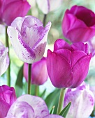 Tulips, varieties: Attila (purple) and Shirley (white with purple edges)