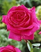 A 'Criterion' rose