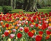 Gemischte Tulpen in Parkanlage