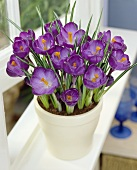 Purple crocuses in flowerpot (Crocus vernus 'Remembrance')