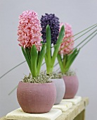 Hyacinths 'Pink Diamond' and 'Crystal Palace' in flowerpots