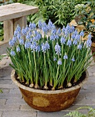 Grape hyacinths (Muscari armeniacum 'Atlantic') in container