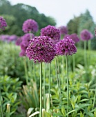 Ornamental onion (Allium Purple Sensation)