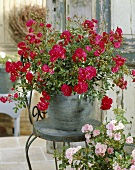 'Red Fairy' roses in pot