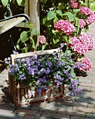 Hydrangea and campanula in planter