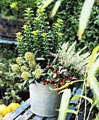 Autumn planting in zinc bucket