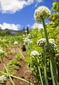 Onion flowers in an organic garden