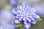A Japanese liverwort flower (hepatica)