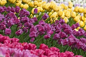 A bed of tulips (Keukenhof, Holland)