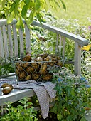 Freshly dug potatoes in wire basket on garden seat