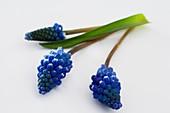Grape hyacinths (Muscari armeniacum)