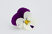 Horned violet (Viola cornuta 'Callisto Purple & White')