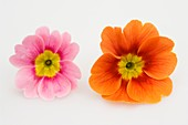 Primrose flowers (Primula vulgaris syn. acaulis)