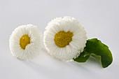 White Bellis (variety 'Rusher White')