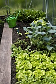 Lettuce and vegetables in greenhouse