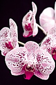 Pink speckled orchids